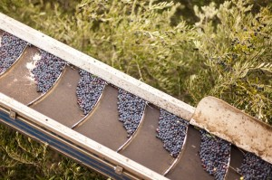 Olives on trees and conveyor during harvest