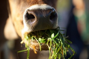 Grass-fed Beef and Dairy, cow eating grass