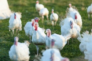 Turkeys on pasture