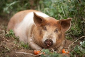 Pasture pig with grass, dirt and persimmons