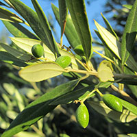 organically grown olives closeup