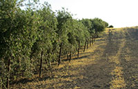 olive orchard in Dunnigan Hills of Yolo County, CA